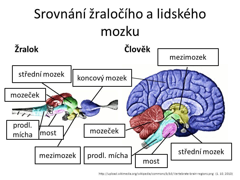 Srovnání žraločího a lidského mozku