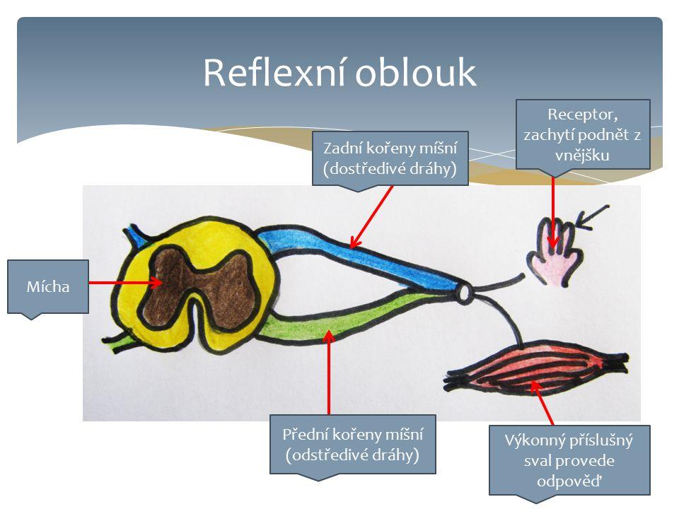Reflexní oblouk Receptor, zachytí podnět z vnějšku Zadní kořeny míšní