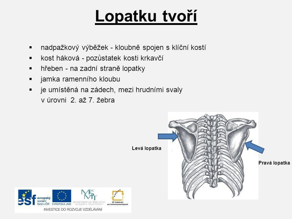 Lopatku tvoří nadpažkový výběžek - kloubně spojen s klíční kostí