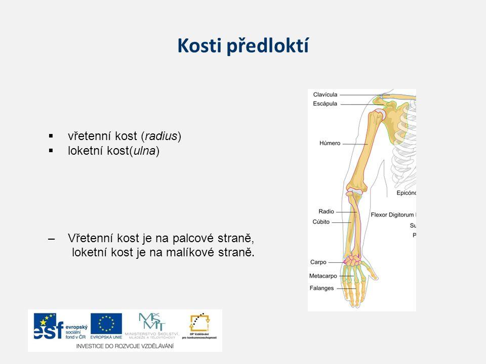 Kosti předloktí vřetenní kost (radius) loketní kost(ulna)