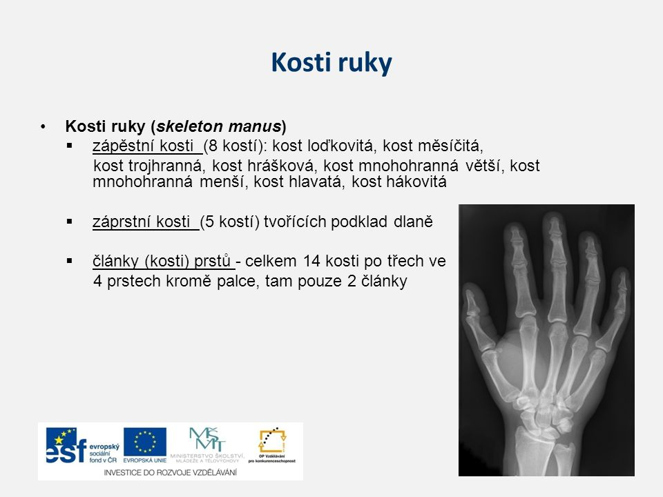 Kosti ruky Kosti ruky (skeleton manus)