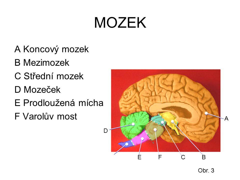 MOZEK A Koncový mozek B Mezimozek C Střední mozek D Mozeček