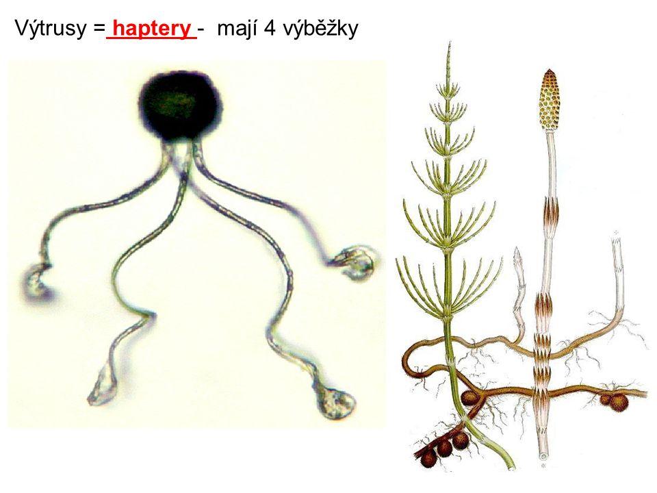 Výtrusy = haptery - mají 4 výběžky