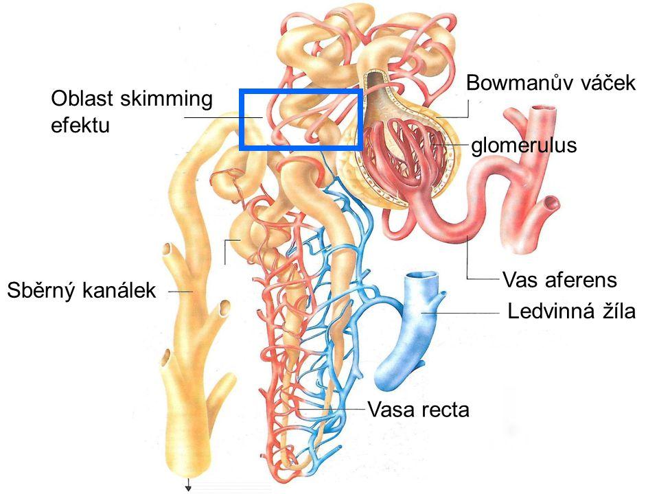 Bowmanův váček Oblast skimming efektu. glomerulus.