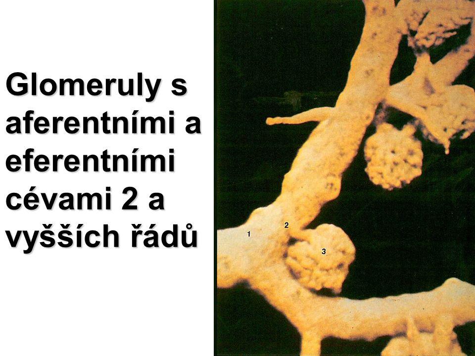 Glomeruly s aferentními a eferentními cévami 2 a vyšších řádů