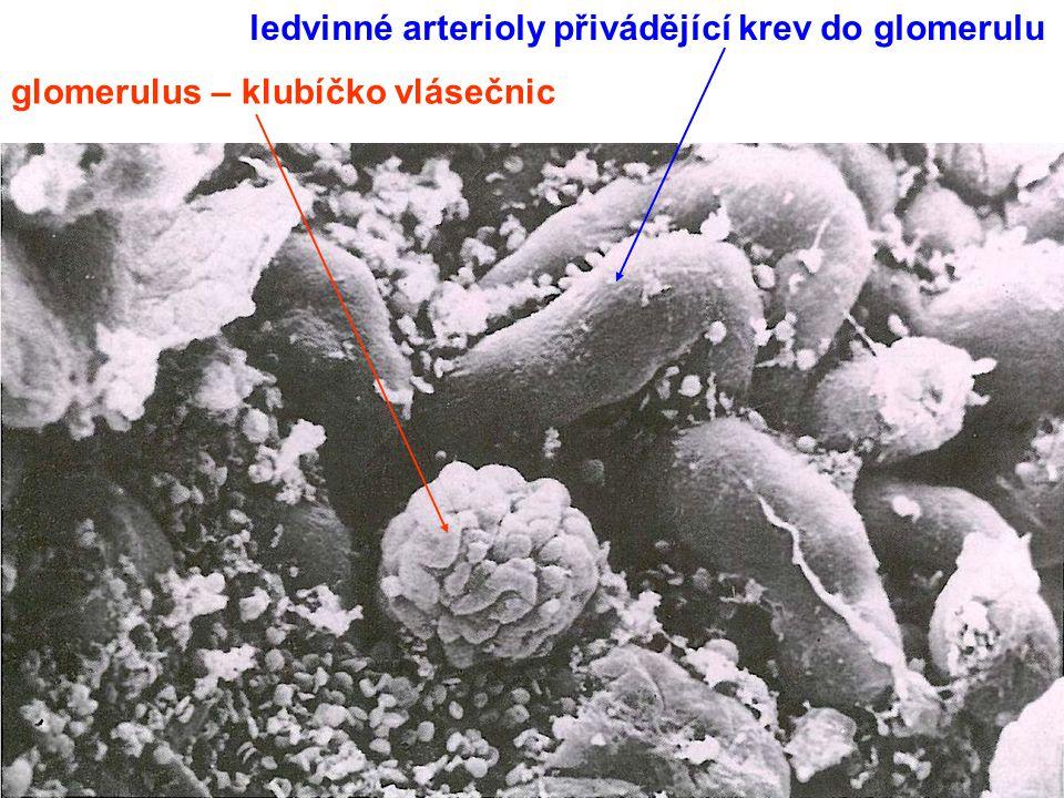 ledvinné arterioly přivádějící krev do glomerulu
