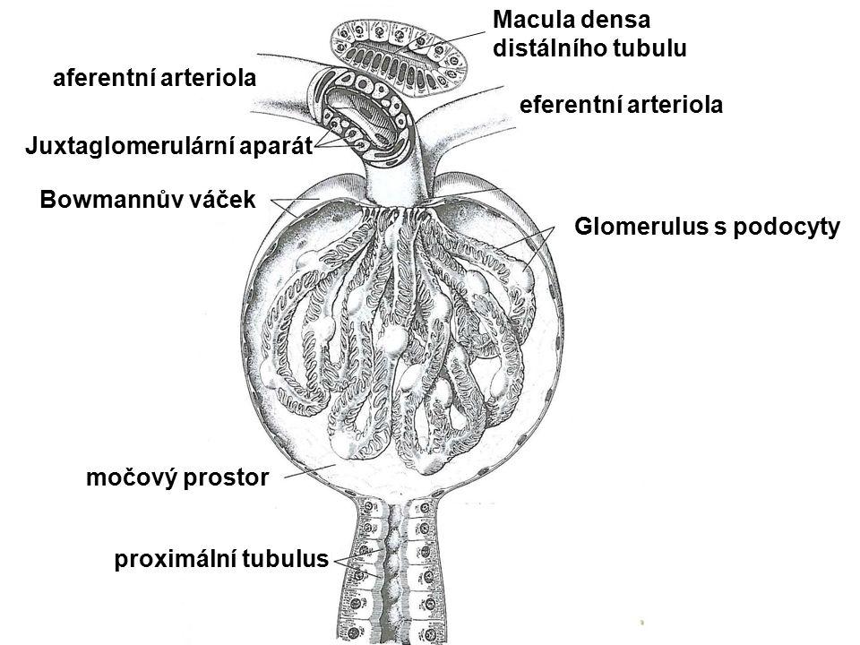 Macula densa distálního tubulu