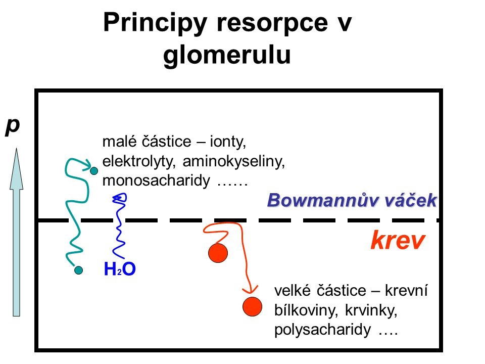 Principy resorpce v glomerulu