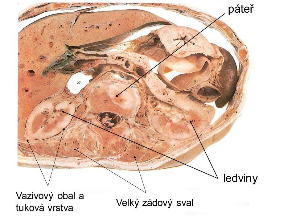 páteř ledviny Vazivový obal a tuková vrstva Velký zádový sval