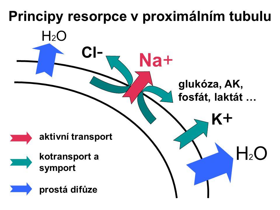 Principy resorpce v proximálním tubulu