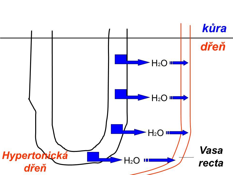 kůra dřeň H2O H2O H2O Vasa recta Hypertonická dřeň H2O