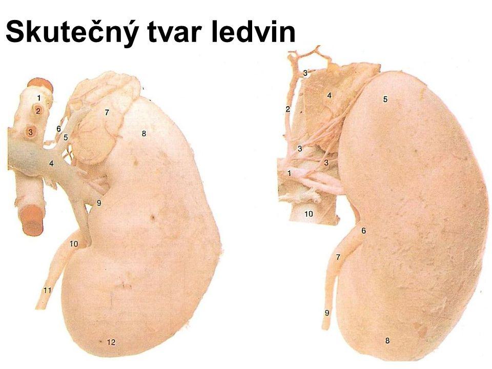 Skutečný tvar ledvin