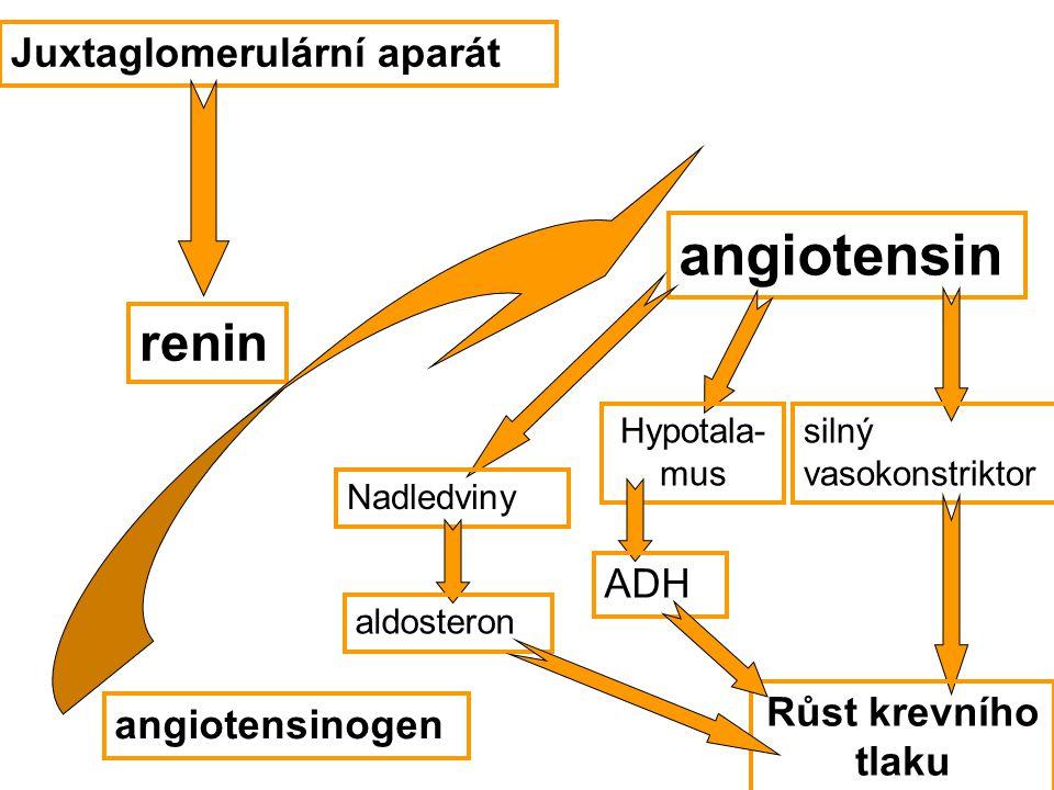 angiotensin renin Juxtaglomerulární aparát ADH Růst krevního tlaku