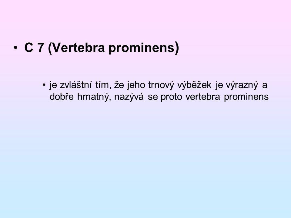 C 7 (Vertebra prominens)