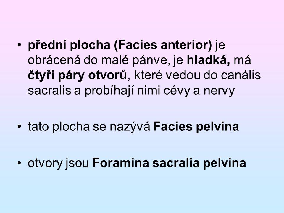 přední plocha (Facies anterior) je obrácená do malé pánve, je hladká, má čtyři páry otvorů, které vedou do canális sacralis a probíhají nimi cévy a nervy