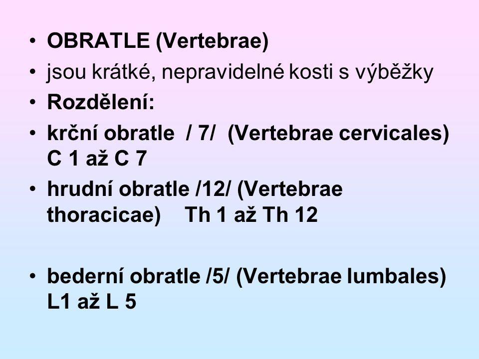 OBRATLE (Vertebrae) jsou krátké, nepravidelné kosti s výběžky. Rozdělení: krční obratle / 7/ (Vertebrae cervicales) C 1 až C 7.