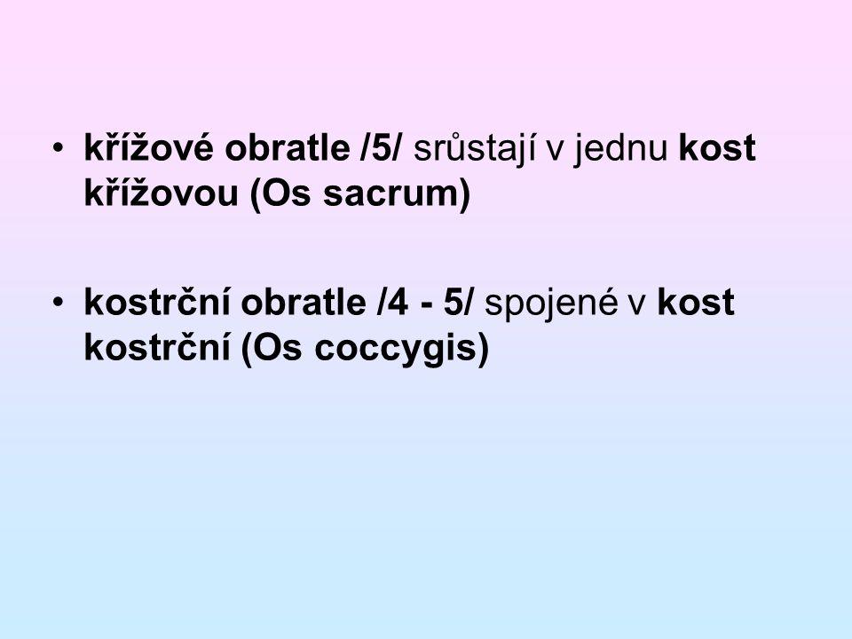 křížové obratle /5/ srůstají v jednu kost křížovou (Os sacrum)