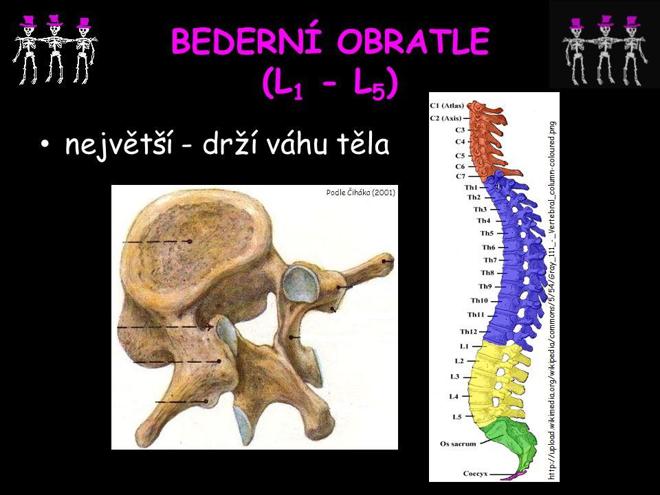 BEDERNÍ OBRATLE (L1 - L5) největší - drží váhu těla