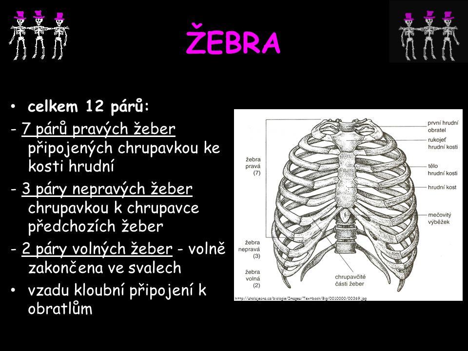 ŽEBRA celkem 12 párů: - 7 párů pravých žeber připojených chrupavkou ke kosti hrudní.