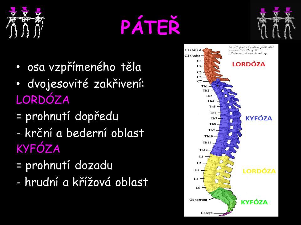 PÁTEŘ osa vzpřímeného těla dvojesovité zakřivení: = prohnutí dopředu