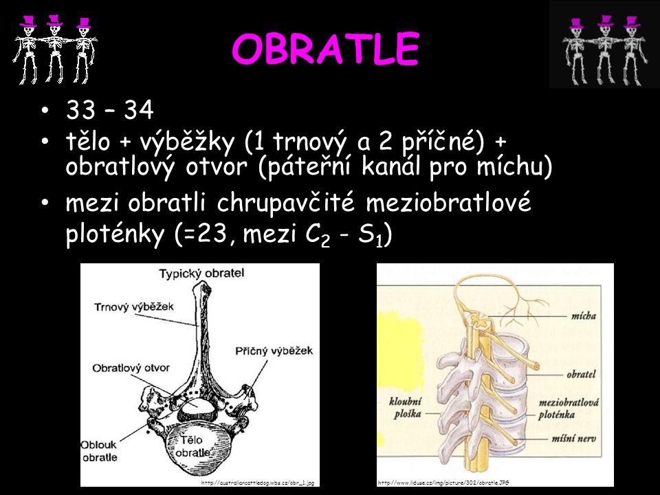 OBRATLE 33 – 34. tělo + výběžky (1 trnový a 2 příčné) + obratlový otvor (páteřní kanál pro míchu)