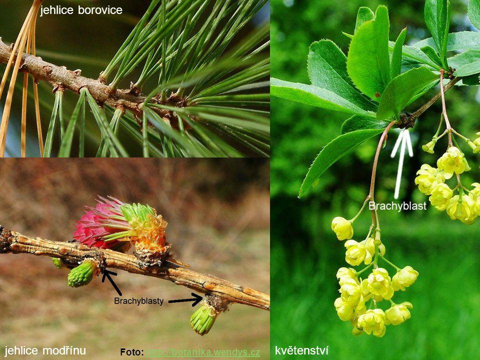 jehlice borovice jehlice modřínu květenství