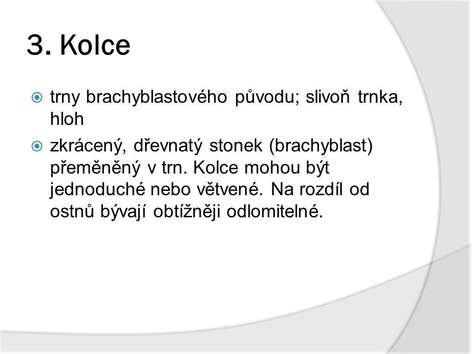 3. Kolce trny brachyblastového původu; slivoň trnka, hloh