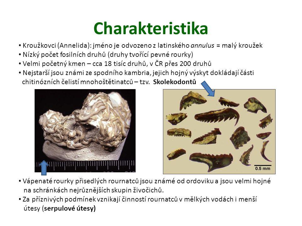 Charakteristika Kroužkovci (Annelida): jméno je odvozeno z latinského annulus = malý kroužek.