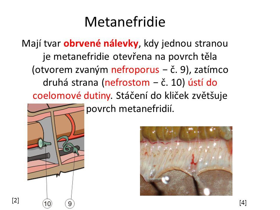 Metanefridie