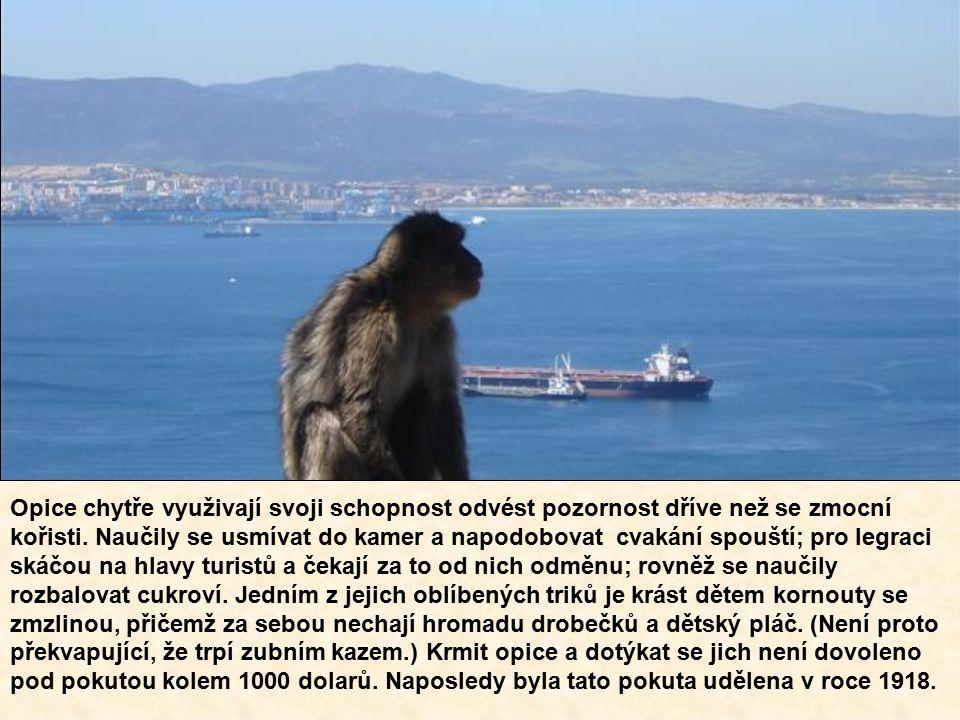 Opice chytře využivají svoji schopnost odvést pozornost dříve než se zmocní kořisti.