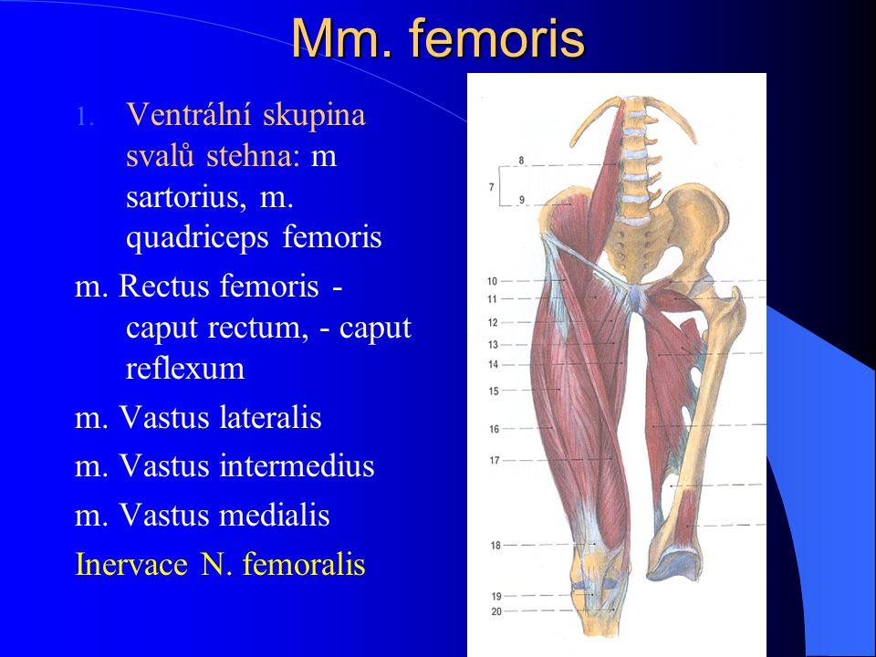 Mm. femoris Ventrální skupina svalů stehna: m sartorius, m. quadriceps femoris. m. Rectus femoris - caput rectum, - caput reflexum.