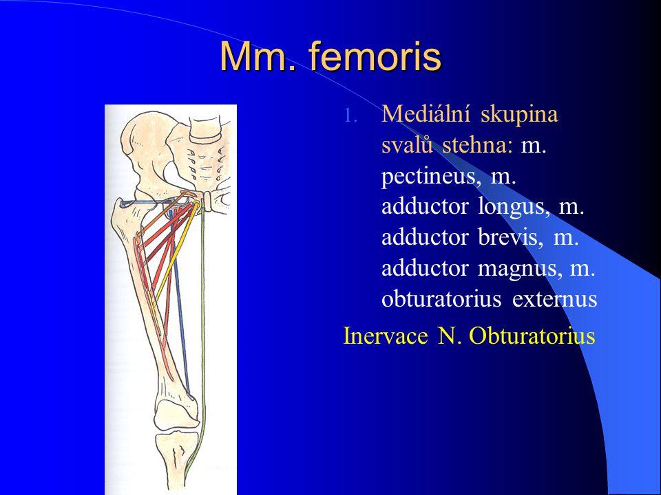Mm. femoris Mediální skupina svalů stehna: m. pectineus, m. adductor longus, m. adductor brevis, m. adductor magnus, m. obturatorius externus.