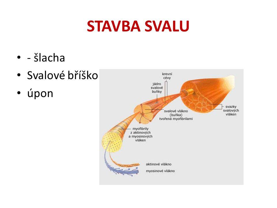 STAVBA SVALU - šlacha Svalové bříško úpon