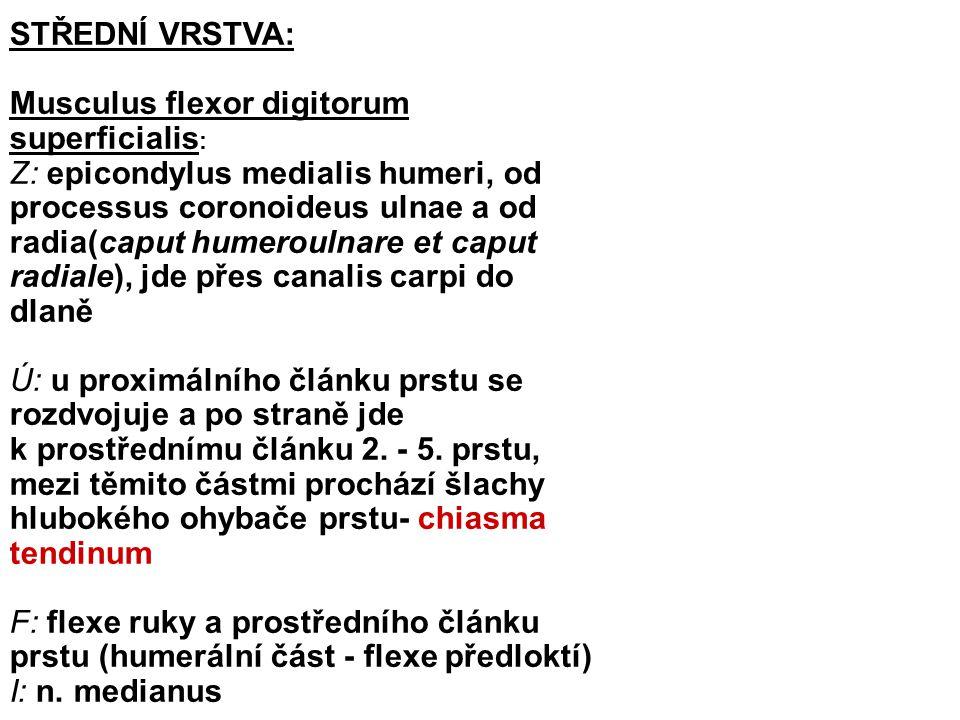 STŘEDNÍ VRSTVA: Musculus flexor digitorum superficialis:
