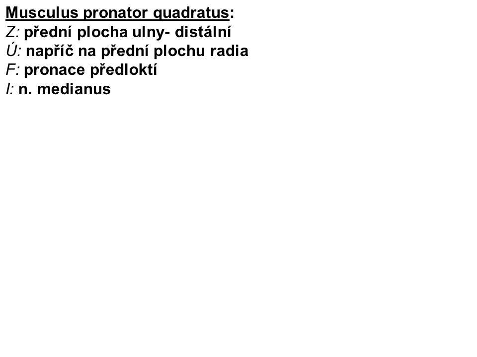 Musculus pronator quadratus: