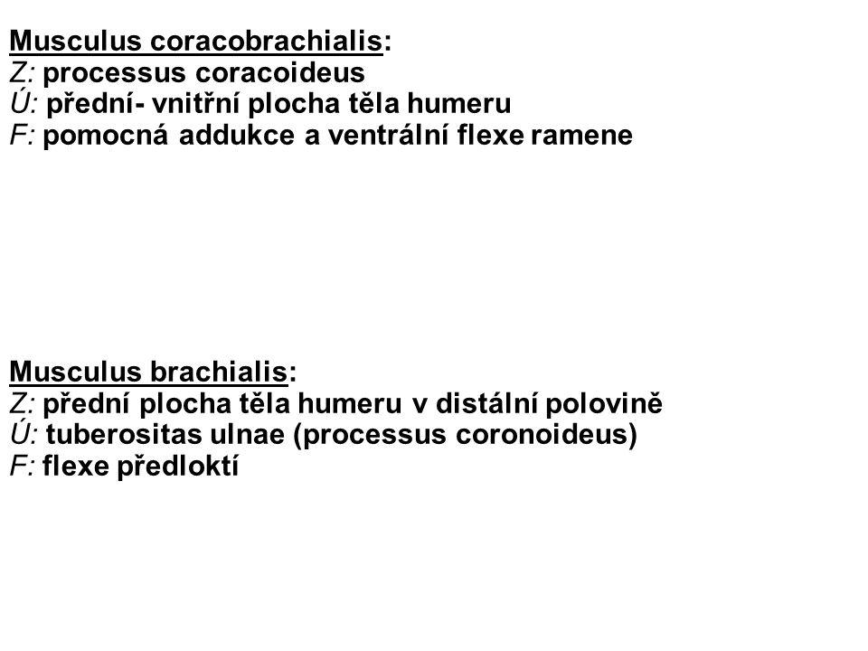 Musculus coracobrachialis:
