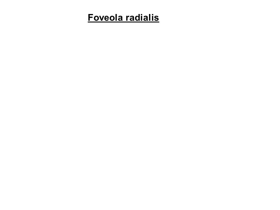 Foveola radialis