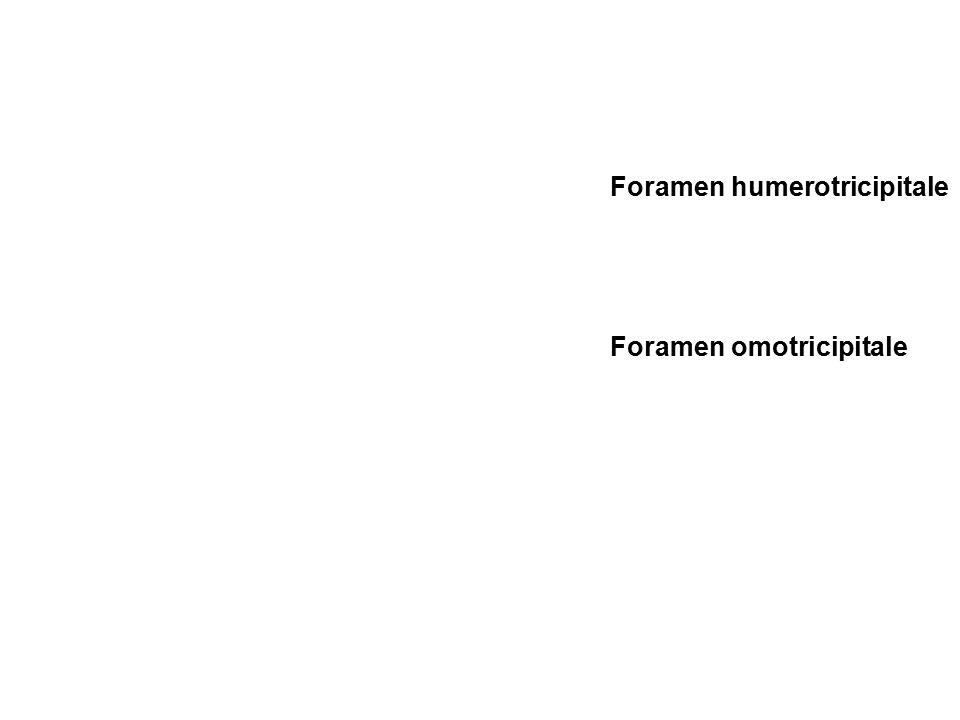 Foramen humerotricipitale
