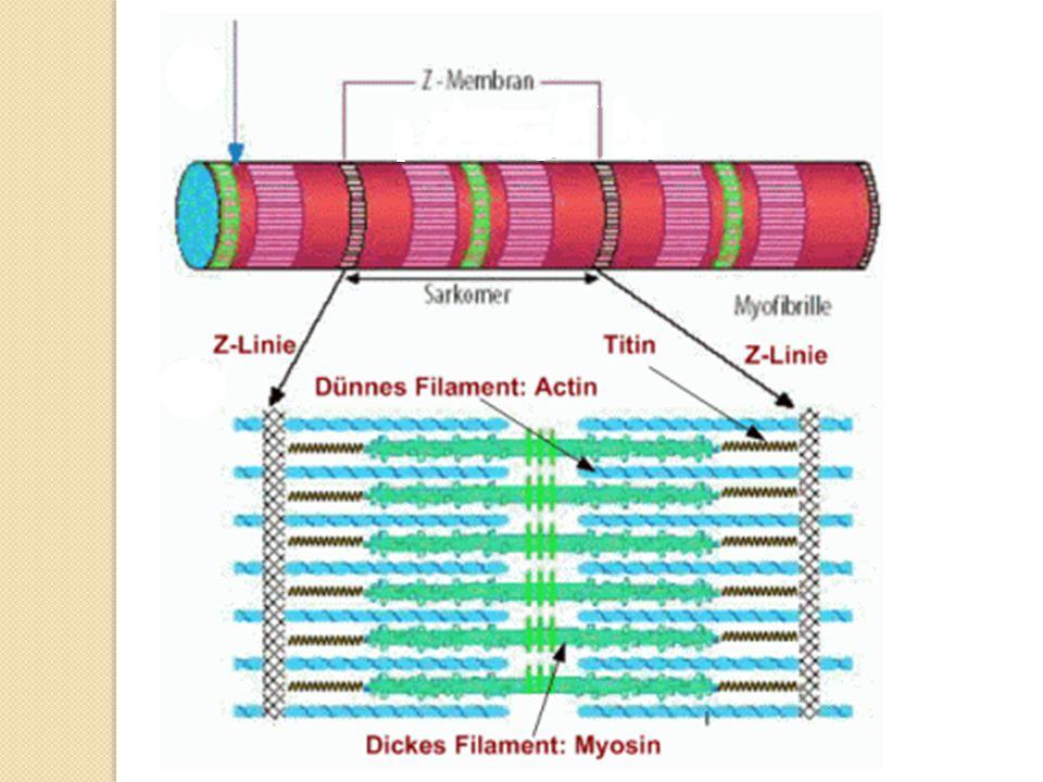 Myozinové filamenty jsou drženy na svém místě molekulami bílkoviny titinu, nejdelší a jedné z nejtěžších známých bílkovin (Mr=3∙106), která je pružně poutá k diskům Z