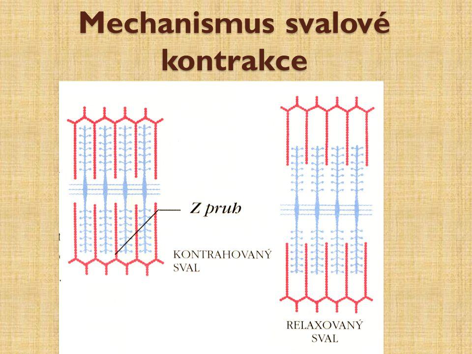 Mechanismus svalové kontrakce