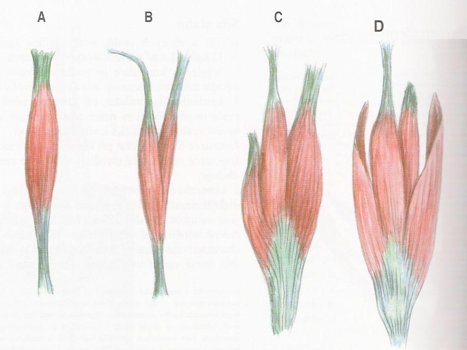 Vřetenovitý sval B) dvojhlavý sval C) trojhlavý sval D) Čtyřhlavý sval