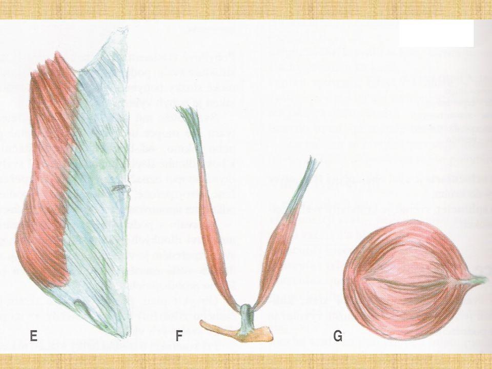 E) Plochý sval F) Dvojbříškový sval G) Kruhovitý sval