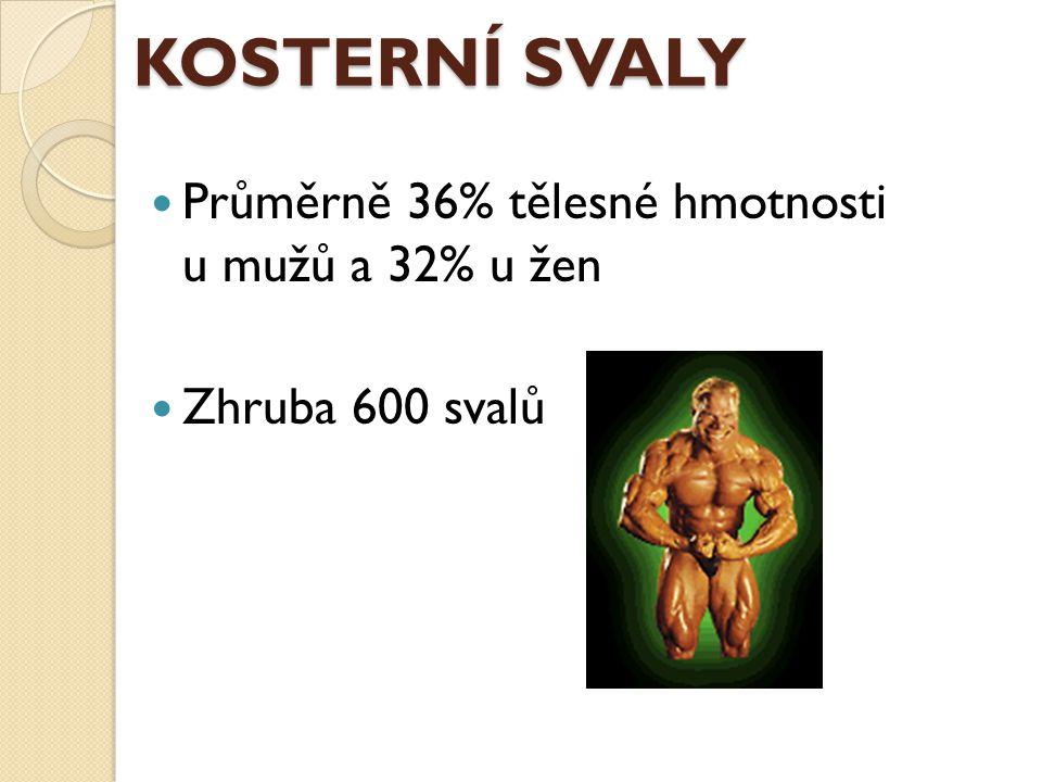 KOSTERNÍ SVALY Průměrně 36% tělesné hmotnosti u mužů a 32% u žen