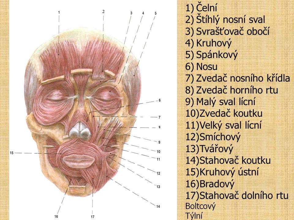 Čelní Štíhlý nosní sval Svrašťovač obočí Kruhový Spánkový Nosu