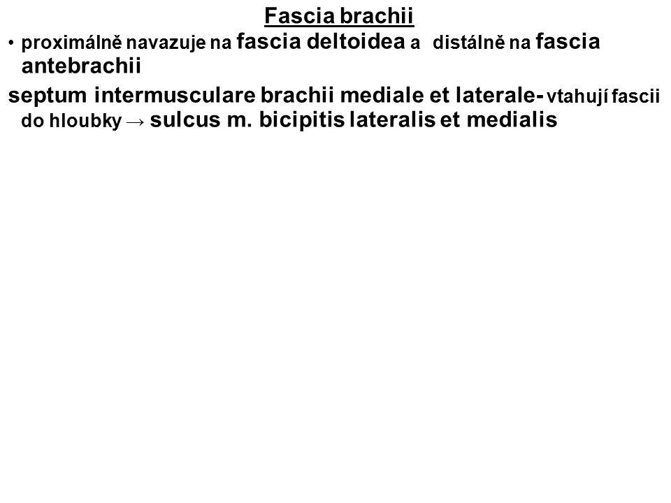 Fascia brachii proximálně navazuje na fascia deltoidea a distálně na fascia antebrachii.