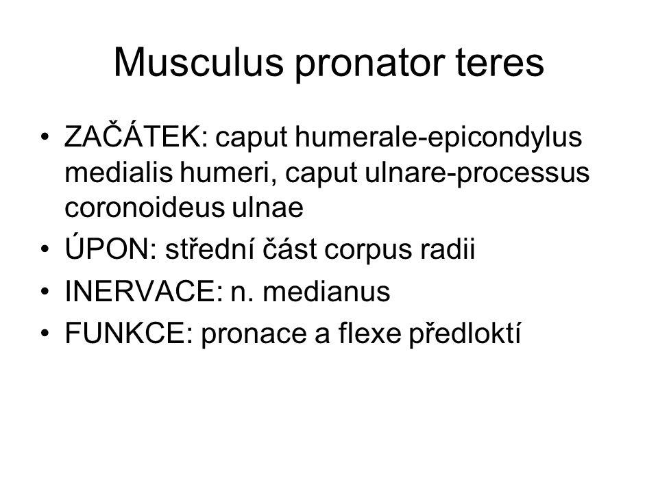 Musculus pronator teres