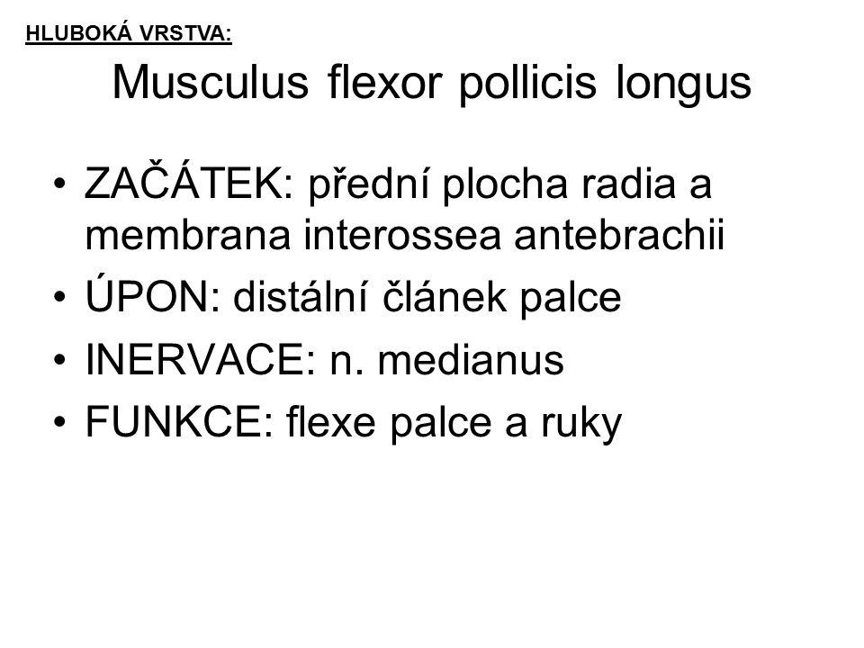 Musculus flexor pollicis longus