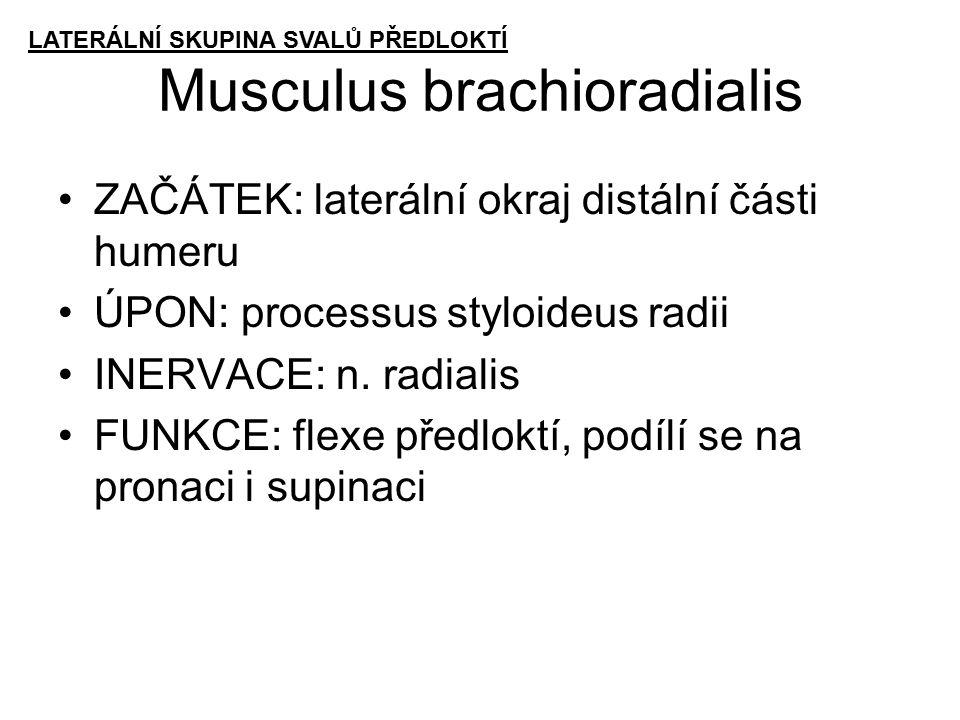 Musculus brachioradialis