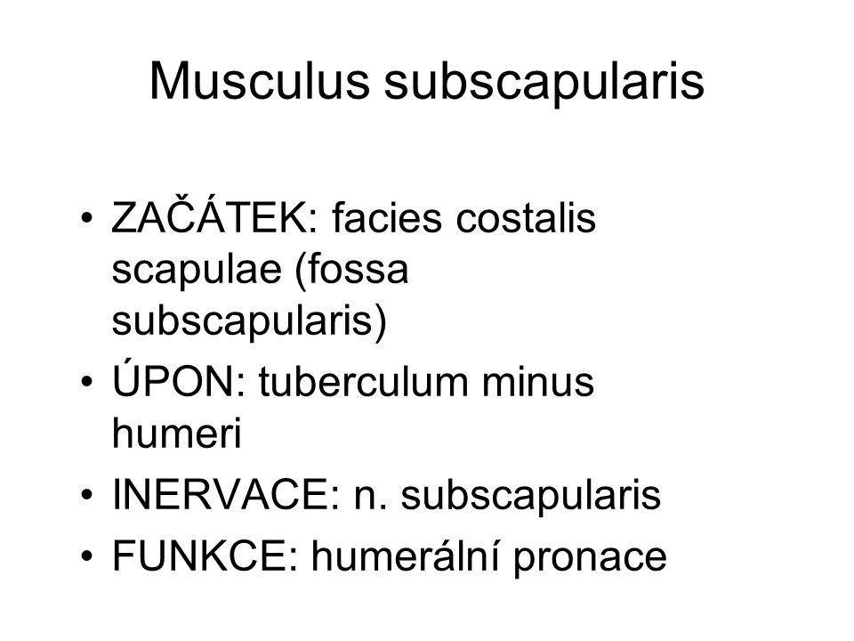 Musculus subscapularis
