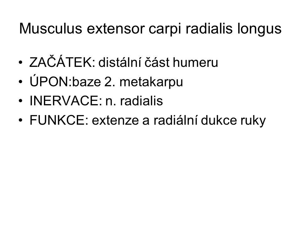 Musculus extensor carpi radialis longus